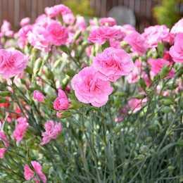 Гвоздика Devon Cottage™ 'Rosy Cheeks'
