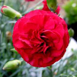 Гвоздика Devon Cottage™ 'Ruby's Tuesday'