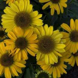 Эхинацея 'Yellow My Darling'