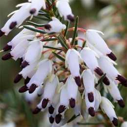 Эрика травянистая 'Springwood White'