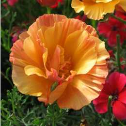 Эшшольция калифорнийская 'Apricot Chiffon'