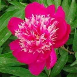 Пион 'Магический Цветок'
