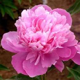 Paeonia herbaceous Ling Hua Chen Yu