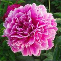 Пион 'Пурпурная Феерия'