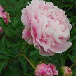Пион  'Розовая Акварель'