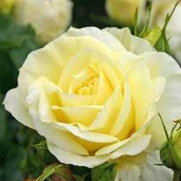 Роза 'Limona'
