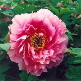 Пион древовидный 'Розовый Лотос'