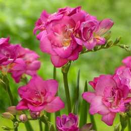 Фрезия махровая розовая