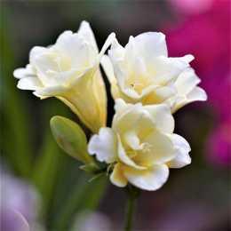 Фрезия махровая белая