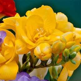 Фрезия махровая жёлтая