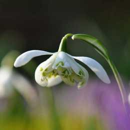 Подснежник белоснежный 'Flore Pleno'