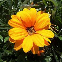Газания 'Sunburst Orange''