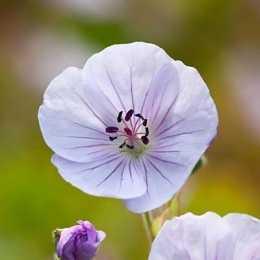 Герань 'Lilac Ice'