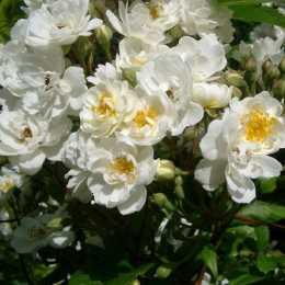 Роза Guirlande d'Amour