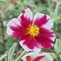 Солнцецвет 'Raspberry Ripple'