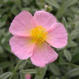 Солнцецвет 'Wisley Pink'