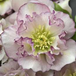 Морозник 'Flower Girl'