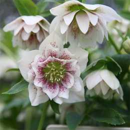Морозник 'Harvington Double White Speckled'