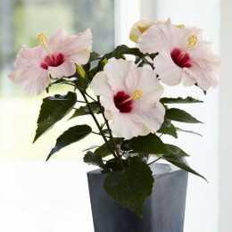 Гибискус HibisQs® LongiFlora™ Adonicus Pearl