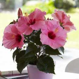 Гибискус HibisQs® LongiFlora™ Adonicus Pink