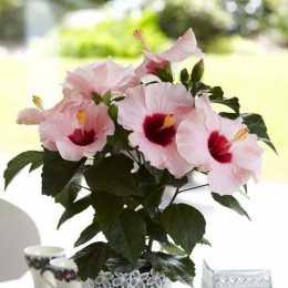 Гибискус HibisQs® LongiFlora™ Adonicus Rosa