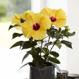 Гибискус HibisQs® LongiFlora™ Adonicus Yellow