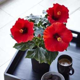 Гибискус HibisQs® LongiFlora™ Afrodite Red