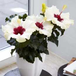 Гибискус HibisQs® LongiFlora™ Boreas White