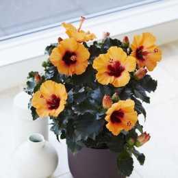 Гибискус HibisQs® LongiFlora™ Petit Orange