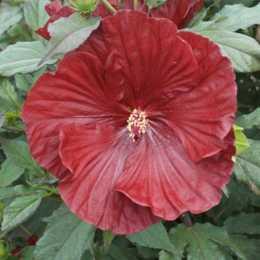 Гибискус гибридный Summerific® 'Cranberry Crush'
