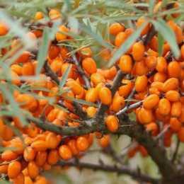 Облепиха крушиновидная 'Orange Energy'
