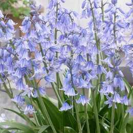 Гиацинтоидес испанский синий