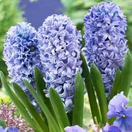 Гиацинт восточный 'Blue Tango'