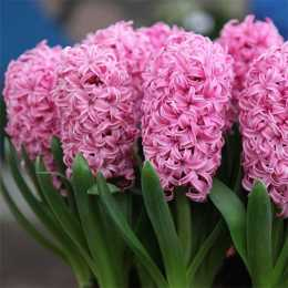 Гиацинт восточный 'Pink Pearl'