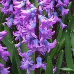 Гиацинт восточный 'Purple Star'