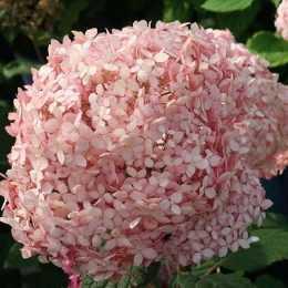 Гортензия древовидная 'Pink Annabelle'