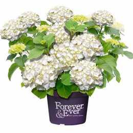 Forever & Ever ® White