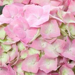 Гортензия крупнолистная 'Bela Pink'®