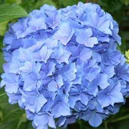 Гортензия крупнолистная 'Blauer Zwerg'