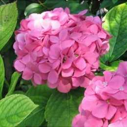 Гортензия крупнолистная 'Bouquet Rose'