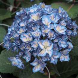 Гортензия крупнолистная 'Charming Alice®' Blue