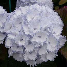 Гортензия крупнолистная 'Charming Claire ®' Blue