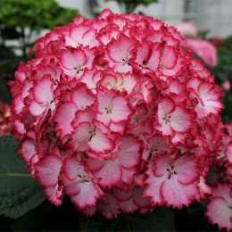 Гортензия крупнолистная 'Charming Julia ®' Red