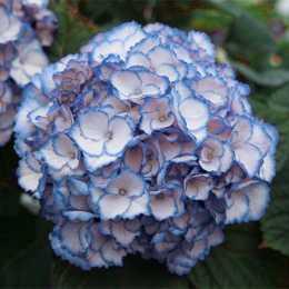 Гортензия крупнолистная 'Charming Sophia ®' Blue