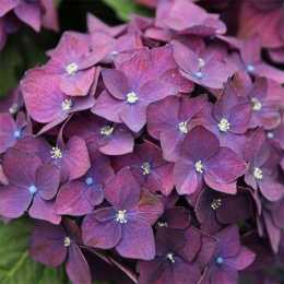 Гортензия крупнолистная 'Dark Angel Purple'