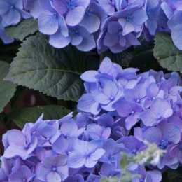 Гортензия крупнолистная 'Diva Fiore Blue'