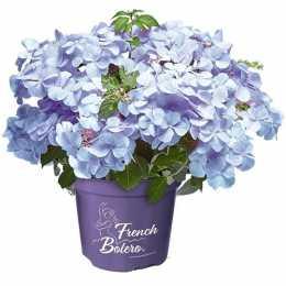 Гортензия крупнолистная French Bolero® Blue