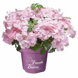 Гортензия крупнолистная French Bolero® Pink