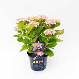 Гортензия крупнолистная (S) witch® Kassiopeia Pink