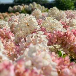 Гортензия метельчатая 'Little Blossom'®